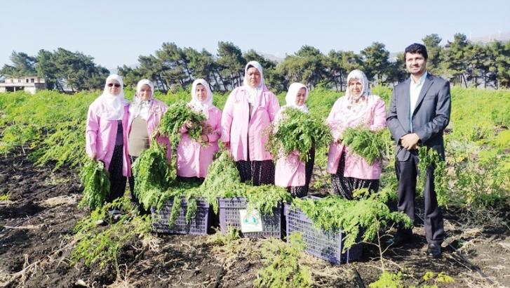 Moringa bitkisinin hasadına başlandı