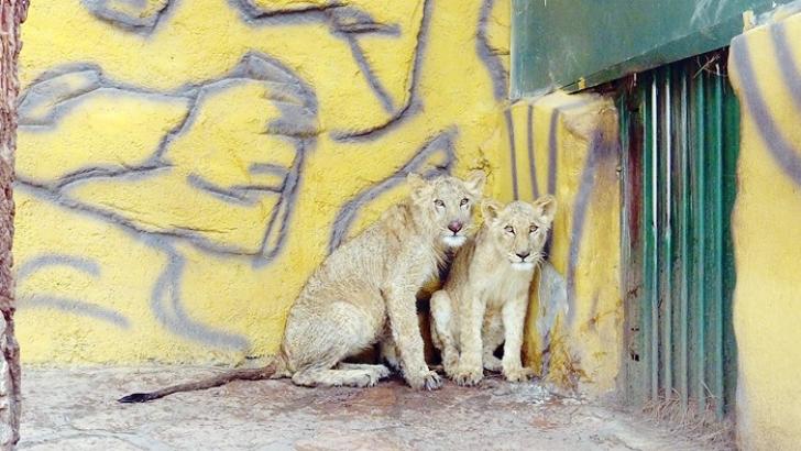 Erdoğan'ın aslanları basına tanıtıldı